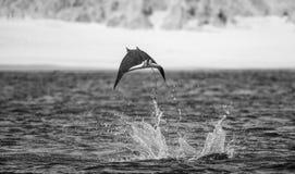 Mobulastrahl springt in den Hintergrund des Strandes von Cabo San Lucas mexiko Meer von Cortez lizenzfreie stockbilder