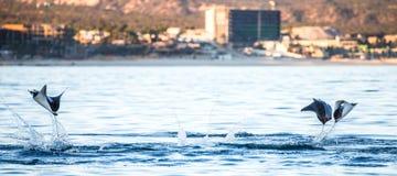 Mobulastrahlen springen in den Hintergrund der Stadt von Cabo San Lucas mexiko Meer von Cortez lizenzfreie stockfotos