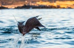 Mobulastrahlnherausspringen des Wassers stockfotos