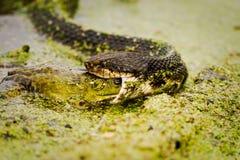 Mocasín que come la rana mugidora 1 Imagen de archivo