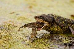 Mocasín que come la rana mugidora 3 Fotos de archivo