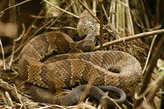 Mocassim de água ou serpente do cottonmouth em Florida sul Fotografia de Stock