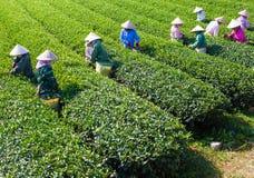 Mocchau高地,越南:Moc Chau茶小山, Moc Chau村庄2015年10月25日 茶是一份传统饮料在亚洲 免版税图库摄影