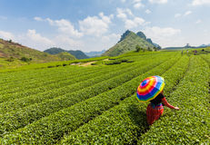Mocchau-Hochland, Vietnam: Teehügel Moc Chau, Dorf Moc Chau am 25. Oktober 2015 Tee ist ein traditionelles Getränk in Asien Lizenzfreie Stockfotos