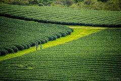 Mocchau-Hochland, Vietnam: Teehügel Moc Chau, Dorf Moc Chau am 25. Oktober 2015 Tee ist ein traditionelles Getränk in Asien Lizenzfreies Stockbild