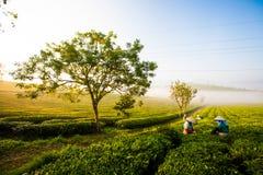 Mocchauhoogland, Vietnam: De theeheuvel van Mocchau, het dorps 25 Oct, 2015 van Moc Chau De thee is een traditionele drank in Azi Stock Foto