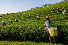 Mocchauhoogland, Vietnam: De theeheuvel van Mocchau, het dorps 25 Oct, 2015 van Moc Chau De thee is een traditionele drank in Azi Royalty-vrije Stock Afbeeldingen