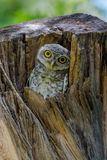 Mochuelo manchado que mira curiosamente de su jerarquía en hueco del árbol Imagenes de archivo