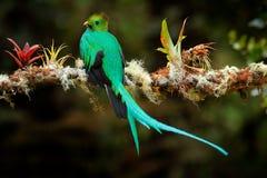 Mocinno resplandecente do quetzal, do Pharomachrus, de Savegre em Costa Rica com primeiro plano e fundo verdes borrados da flores fotografia de stock