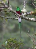 Mocinno resplandeciente de Pharomachrus del quetzal Fotografía de archivo libre de regalías