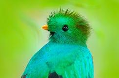 Mocinno resplendissant de quetzal, de Pharomachrus, du Guatemala avec le premier plan et le fond verts brouillés de forêt Sacré m photographie stock