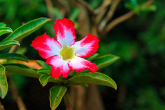Mock Azalea Royalty Free Stock Photography