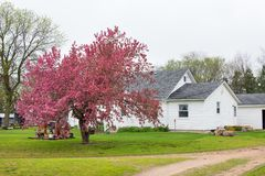 A Mock Crab Apple Tree Blooming next to a Farm House. A mock crab apple tree in spring bloom on a farm in northeastern Nebraska stock photos