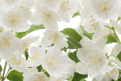 Mock-orange. Studio Shot of White Colored Mock-orange Flowers Background. Large Depth of Field (DOF). Macro royalty free stock photos