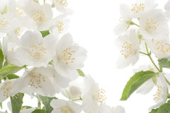 Mock-orange Royalty Free Stock Images