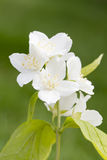 Mock orange Stock Photo