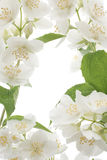 Mock orange. Studio Shot of White Colored Mock-orange Flowers Isolated on White Background. Macro stock photography