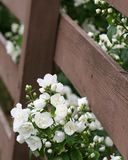 Mock Orange Stock Image