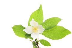 Mock Orange. Blossom and leaves on white royalty free stock images