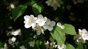 Mock orange blooming close-up in the wind. video shooting static camera. Philadelphus. stock video footage