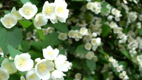 Mock orange blooms. Branches with white flowers swaying in the wind stock footage