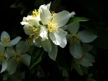 Mock Orange Blossoms Stock Photography