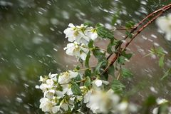 Mock Orange Branch in Rain. Mock Orange (genus Philadelphus) flowers and branch during a rain storm Royalty Free Stock Image