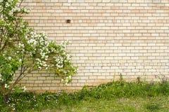 Mock orange growing by yellow brick wall. Mock orange bush growing by yellow brick wall Stock Photo