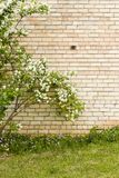 Mock orange growing by yellow brick wall Royalty Free Stock Image