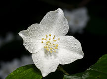 Mock-orange flower Royalty Free Stock Photography