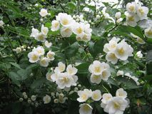 Mock orange flower Stock Image