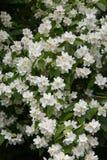 Mock Orange flowering in spring Royalty Free Stock Photography