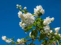 Mock-Orange Philadelphus Hybride. Beautiful White Jasmine Flowers Mock-Orange Philadelphus Hybride in the herb garden at the Convent Inzigkofen on Upper Danube Stock Photography