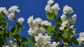 Mock-Orange (Philadelphus Hybride). Beautiful White Jasmine Flowers Mock-Orange (Philadelphus Hybride) in the herb garden at the Convent Inzigkofen on Upper stock video footage