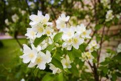 Mock orange tree - Philadelphus - flower blossoms in summer Stock Photos