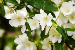 Mock orange tree - Philadelphus - flower blossoms in summer Royalty Free Stock Photo