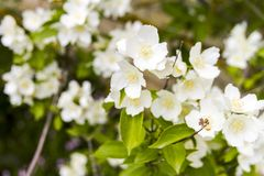 Mock orange tree - Philadelphus - flower blossoms in summer. On a sunny day Royalty Free Stock Images