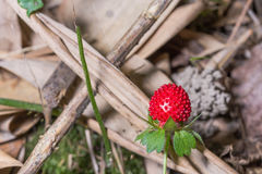 Mock strawberry - Duchesnea Indica Stock Photography