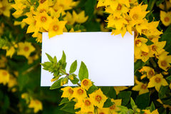 Mock-up. Card.nbeautiful sample cards on a beautiful background.loosestrife. business card template in the bushes Lysimachia.yellow flowers as a background Royalty Free Stock Photos