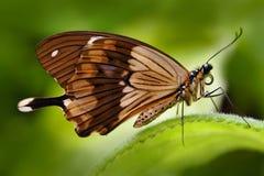 Mocker swallowtail, Papilio dardanus, afrykanina Swallowtail motyl, Papilio dordanus, siedzi na białym kwiacie Insekt w Zdjęcia Royalty Free