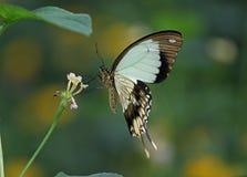 Mocker Swallowtail. Underwing shot of a Mocker Swallowtail Butterfly royalty free stock photos