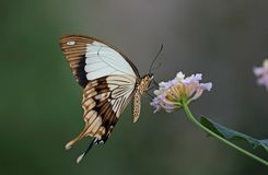 Mocker Swallowtail. Underwing shot of a Mocker Swallowtail Butterfly royalty free stock photography