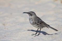 Mocking Bird. A mockingbird in the galapagos Stock Photography