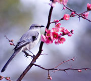 Mocking bird Stock Photography