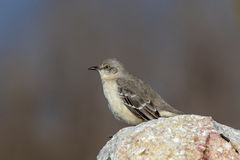 Mocking Bird Royalty Free Stock Images