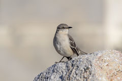 Mocking Bird Stock Images