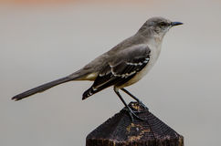 MOCKING BIRD ON A FENCE POST Royalty Free Stock Photo