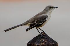 MOCKING BIRD ON A FENCE POST Royalty Free Stock Photo