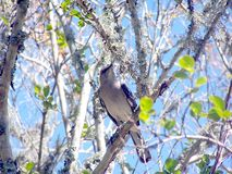 Mocking Bird On A Tree Limb Stock Image