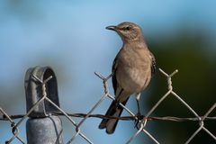 Northern Mocking bird Mimus polyglottos on a fence Stock Images